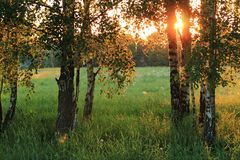 Birch trees in the summer Royalty Free Stock Photography