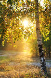 Birch trees in a summer forest. And bright sunshine Royalty Free Stock Photo