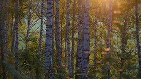 Birch trees in a summer forest during amazing sunset in slowmotion with lens flares from sun. 1920x1080. Hd stock video footage