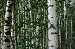 Birch trees in summer forest Stock Image