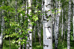 Birch trees in a summer forest Stock Photos