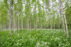 Birch trees in summer forest Royalty Free Stock Images