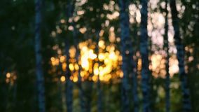Birch trees in a summer forest during sunset in slowmotion. Changes focus from blurred. 1920x1080. Birch trees in a summer forest during sunset in slowmotion stock video
