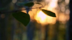 Birch trees in a summer forest during sunset in slowmotion. Changes focus to leafs and blurred wood. 1920x1080. Birch trees in a summer forest during sunset in stock video footage