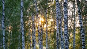 Birch trees in a summer forest during sunset in slowmotion. 1920x1080 stock footage