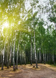 Birch trees in a summer forest under sun Stock Images