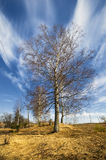 Birch trees in a summer forest under sun sky Stock Image