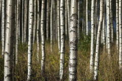 Birch trees in summer landscape Stock Images