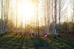Birch trees and sun shine royalty free stock photo