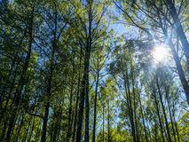 Birch trees and sun shining Stock Photo