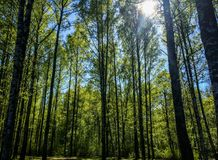 Birch trees and sun shining Stock Photography