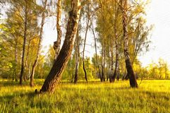 Birch trees on a sunny glade at dawn Stock Photos