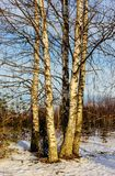 Birch trees on a sunny winter day. Birch trees in the forest on a sunny winter day Stock Photo