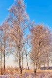 Birch trees in sunset lights. Winter landscape with snowy birch trees in sunset lights stock photos