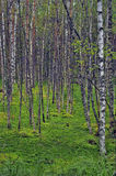Birch trees in a swamp Stock Images