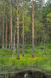 Birch trees in a swamp. Trees in the swamp in the forest Stock Image