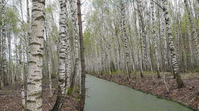 Birch trees on swamp's waterfront. Birch trees forest on overgrown fire-prevention canal coasts Stock Image