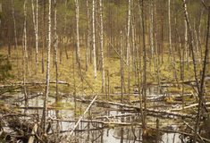 Birch trees in a swamp. Skinny birch trees in autumn swamp Royalty Free Stock Image