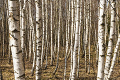 Birch trees. Stock Image