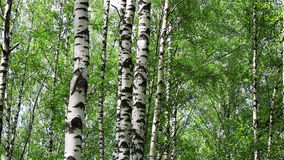 Birch trees tilt. View of birch trees with camera going up the trunks stock video