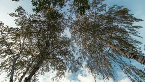 Birch trees. Time lapse in autumn stock video footage