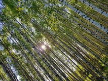 Tree trunks looking up. Spring forest scene royalty free stock images