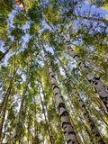 Tree trunks looking up. Spring forest scene stock images