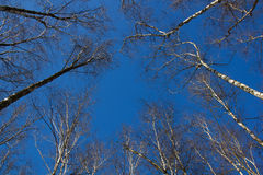 Birch trees. Tops of birch trees on a winter background blue sky royalty free stock photography