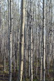Birch trees. Birch tree forest in Winnipeg, Manitoba, Canada Royalty Free Stock Photos
