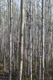 Birch trees. Birch tree forest in Winnipeg, Manitoba, Canada royalty free stock photos