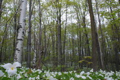 Birch trees and Trilliums Stock Photos