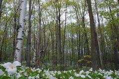 Birch trees and Trilliums Stock Photos