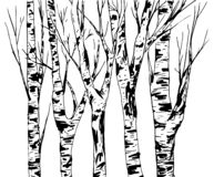 Birch Trees Trunk with Bark Texture, isolated vector. Black brush strokes. Birch Trees Trunk with Bark Texture, forest isolated vector. Black brush strokes vector illustration