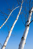 Birch trees trunk Royalty Free Stock Images