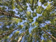 Birch trees trunks looking up. Green spring leaves royalty free stock images