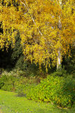 Birch Trees Trunks Sunny Autumn Day Orange Leaves Royalty Free Stock Images