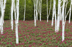 Birch trees & tulips. Closeup silver birch trees with red tulips underneath in Spring royalty free stock images
