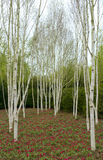 Birch trees & tulips. Silver birch trees with red tulips underneath in Spring royalty free stock photography