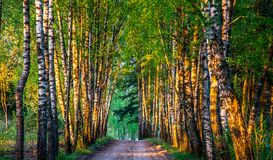 Birch trees tunnel and road. In early spring morning Royalty Free Stock Photo