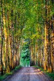 Birch trees tunnel and road. In early spring morning Royalty Free Stock Photos