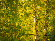 Birch trees  under bright sun Stock Photos