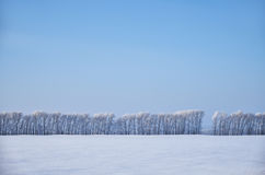 Birch trees under hoarfrost in snow field in winter season Stock Photo