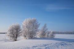 Birch trees under hoarfrost in snow field in winter season Stock Photo
