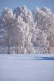 Birch trees under hoarfrost in snow field in winter season Stock Photos