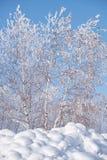 Birch trees under hoarfrost in snow field in winter season Royalty Free Stock Image