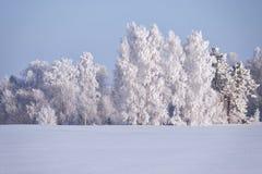 Birch trees under hoarfrost in snow field in winter season Stock Image