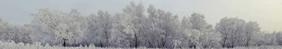 The birch trees under morning snow panorama Stock Photo