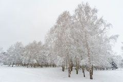 Birch trees under  snow. Birches sheltered by snow in the beautiful winter park Stock Photos