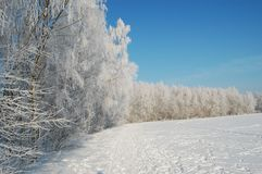 Birch trees under snow. At a sunny winter day Stock Images