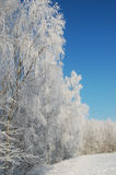 Birch trees under snow. At a sunny winter day Royalty Free Stock Photos